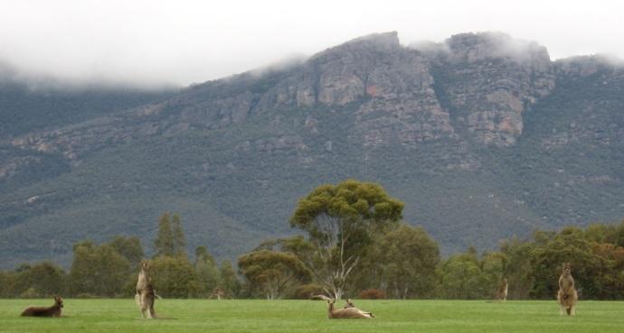 Kangeroos 2012