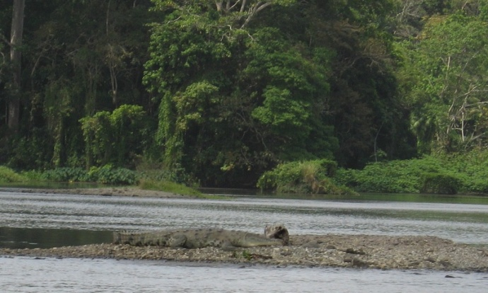 Big croc in the river