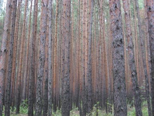 R fir trees