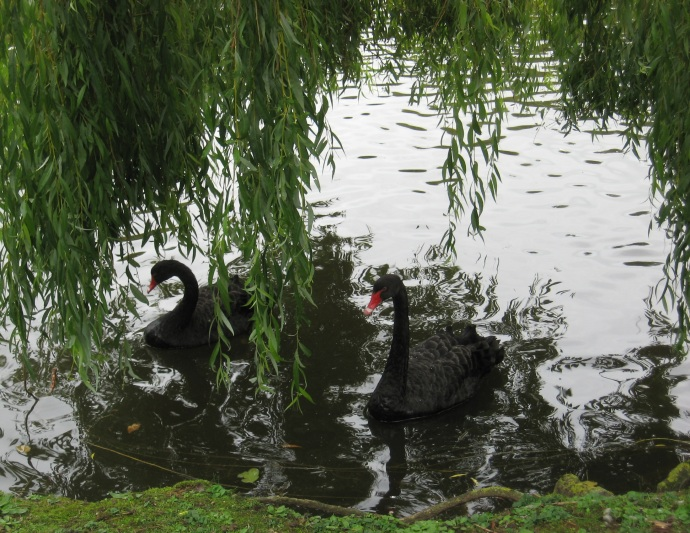 Black swans. Red beaks and eyes.