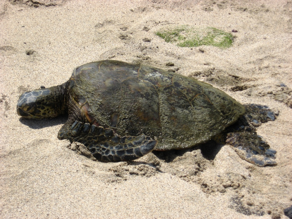 Hawaii resting turtle