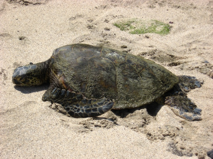 Hawaii resting turtle