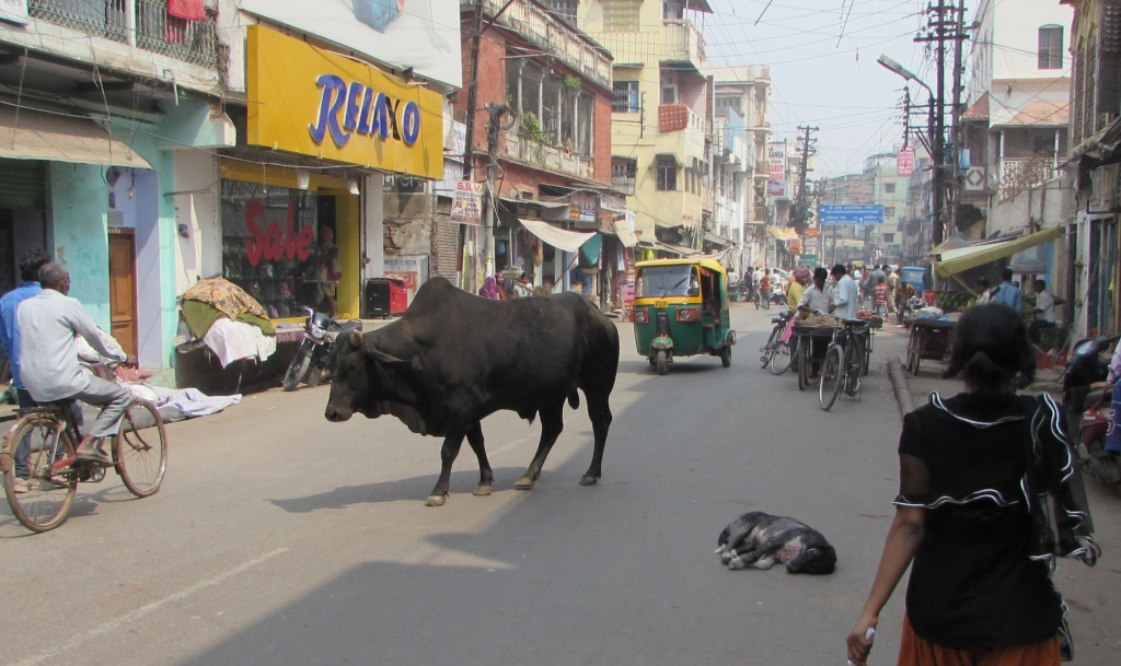 Varanasi cow and dog in street