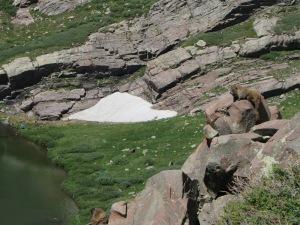 Marmots sunning