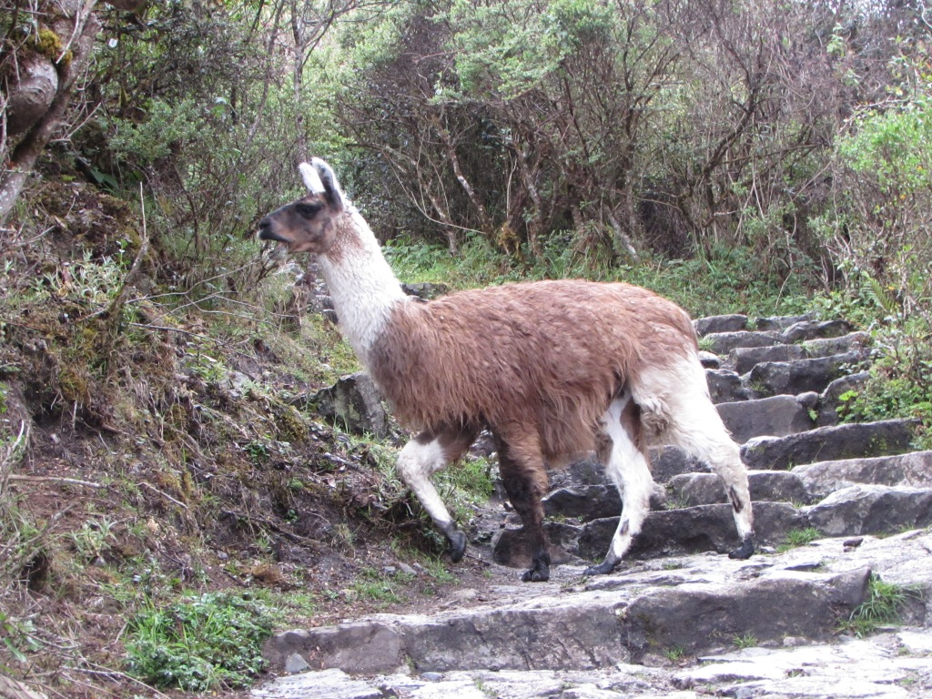 A llama crosses the trail near our camp