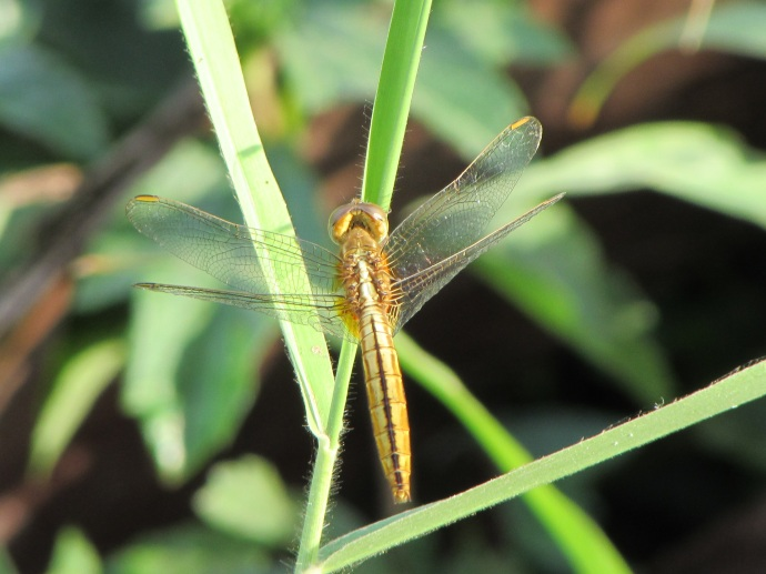 cam-dragonfly-gold-2