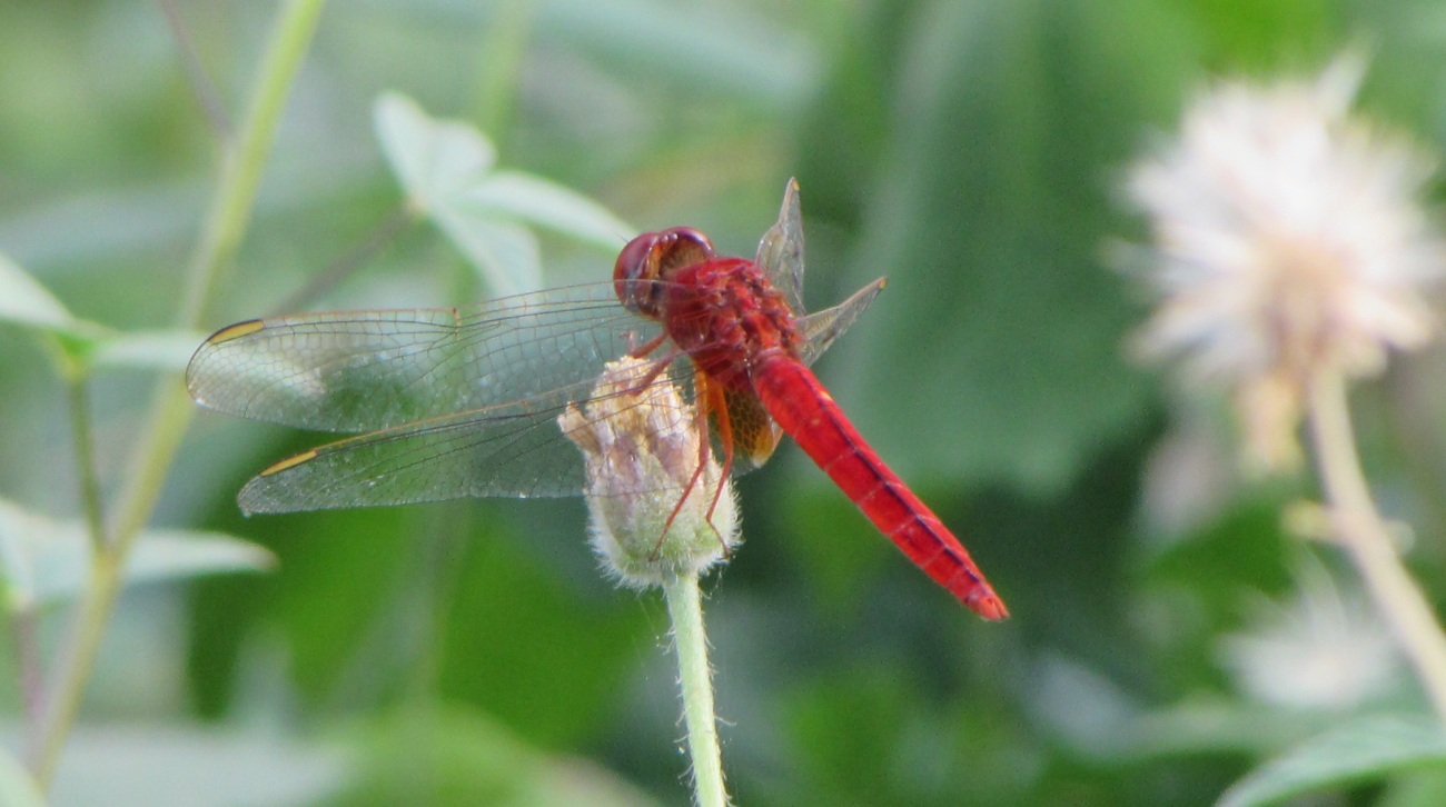 cam-dragonfly-red-2-narrow