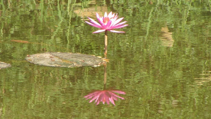 cam-siem-reap-river-lilly